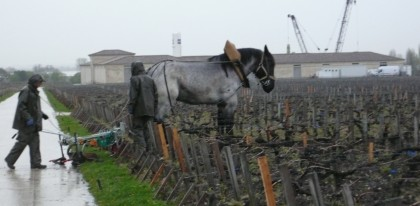 le cheval dans les vignes à Latour...