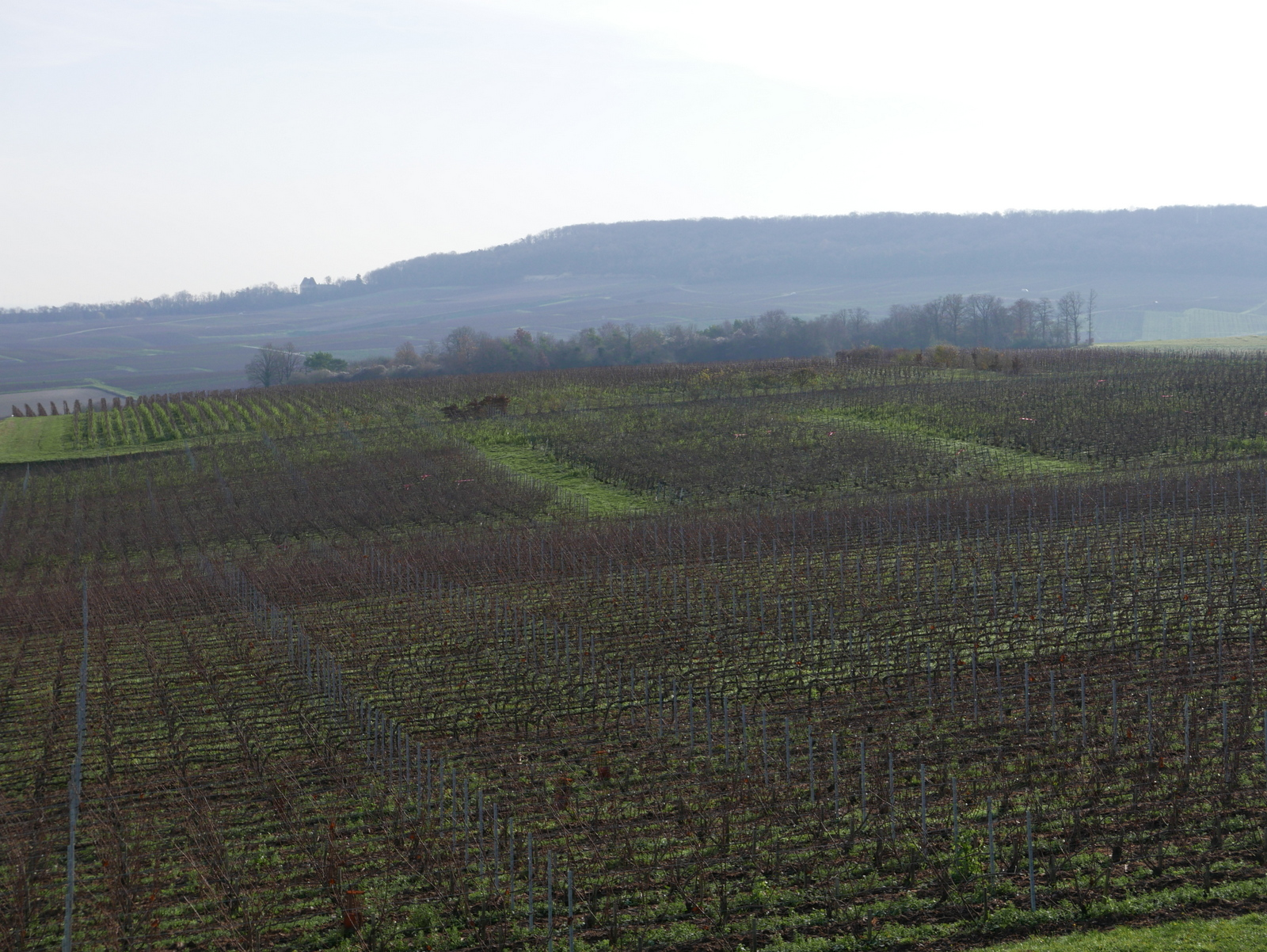 la Côte des Blancs, océan des vignes à Chouilly